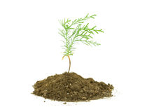 Thuja tree seedling Stock Photo