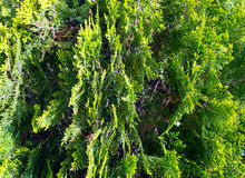 Thuja tree twids. Royalty Free Stock Images