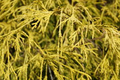 Thuja tree. A yellow Thuja tree leaves closeup in a garden Royalty Free Stock Photo