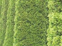 Thuja Trees Closeup Royalty Free Stock Photography