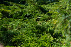 Thuja Trees. Royalty Free Stock Images