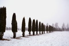 Thuja trees line on snow in morning mist. Thuja arbor trees line on snow in morning mist, winter landscape Royalty Free Stock Photos