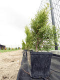 Thuja trees ready to be planted Stock Image