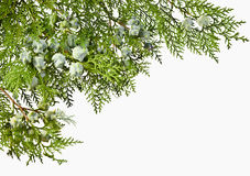 Thuja twig with fruit on a white background. Green Thuja twig with unripe fruit Stock Photography