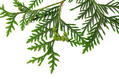 Thuja twig with green cones on white background Royalty Free Stock Images