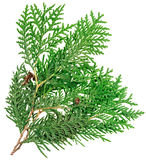 Thuja twig isolated on white Royalty Free Stock Photo