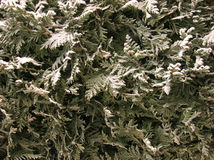 Thuja under snow. The branches of the tree thuja, covered in winter white snow Royalty Free Stock Photo
