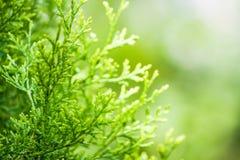 Thuja verde Imagen de archivo libre de regalías