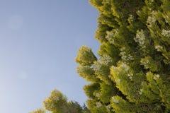 Thuja verde en fondo del cielo azul Fotografía de archivo