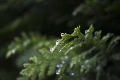 Thuja, verts, macro, arbuste, bokeh Photographie stock libre de droits