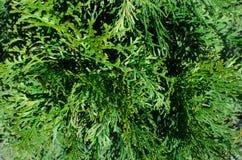 Thuja vintergrönt träd, cypresssläkting Textur av thujasidor med regndroppar grönt naturligt för bakgrund Fylld full rampict arkivfoto
