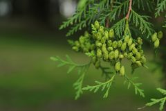 Thuja western grades with buds on the background of green nature. Thuja occidentalis L Royalty Free Stock Photo