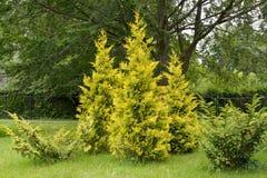 Thuja western grades golden and motley (Thuja occidentalis L. Aureo-variegata. ) in park Royalty Free Stock Image