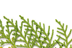 Thuja. On white background. macro Royalty Free Stock Images