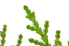 Thuja on white background. macro. Photo taken by professional camera and lens Stock Photo
