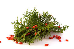 Free Thuja With Red Barberry Royalty Free Stock Photos - 11466788