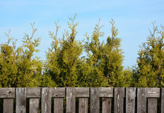Thuja and wooden fence Royalty Free Stock Photography