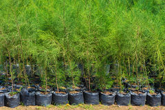 Thuja young plants for sale. Thuja young plants in black sacks for sale Royalty Free Stock Photos