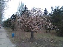 Thujaboom zonder bladeren royalty-vrije stock afbeelding