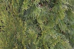 Thujaen är en barrträds- växt från familjcypress per slut upp ett grönt träd som en bakgrund smyckar parkerar royaltyfria bilder