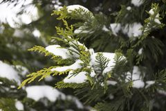 Thujaniederlassung im Schnee lizenzfreies stockfoto