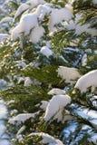 Thujaniederlassungen im Schnee an einem sonnigen Tag stockfotografie