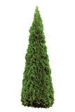 Thujaoccidentalis 'Smaragd', Groene Amerikaanse Arborvitae Westerse Smaragd Wintergreen, Grote Gedetailleerde Geïsoleerde Piramid Royalty-vrije Stock Foto