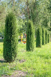 Thujas. Evergreen arborvitae grow in number in the park in the spring. Garden design. Royalty Free Stock Images