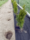 Thujaträd som är klara att planteras Arkivfoto