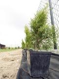 Thujaträd som är klara att planteras Fotografering för Bildbyråer