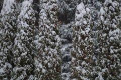 Thujaträdbakgrund under snö arkivbild