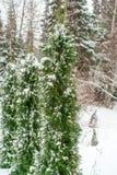 Thujaträdfilialer under snöslut upp härlig bildvinter arkivbilder