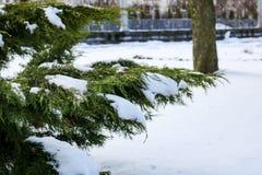 Thujaträdfilialer under snöslutet upp arkivbild