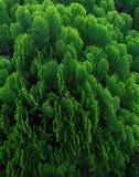 Thujaträdsidor texturerar bakgrund, gräsplansidor textur, sidabakgrund Royaltyfri Fotografi