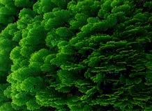 Thujaträdsidor texturerar bakgrund, gräsplansidor textur, sidabakgrund Royaltyfria Foton