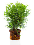 Thujopsis is a conifer in the cypress Royalty Free Stock Photography