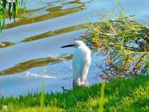 Thula do Egretta do egret nevado, garça-real branca pequena foto de stock