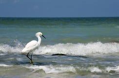 Thula do Egretta do Egret nevado que anda na água pouco profunda no Golfo do México imagem de stock