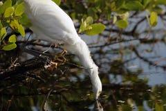 thula egretta egret снежное Стоковые Фотографии RF