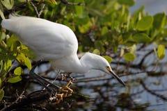 thula egretta egret снежное Стоковые Изображения RF