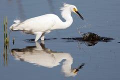thula egretta egret снежное Стоковая Фотография
