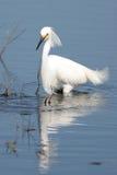 thula egretta egret снежное Стоковые Изображения