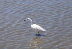 thula egretta egret снежное Стоковое фото RF