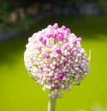 Thulbachia violacea. A beautiful Thulbachia violacea in a garden Stock Images