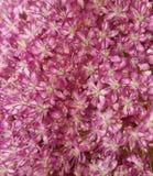 Thulbachia violacea. A beautiful Thulbachia violacea in a garden Stock Photo