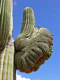 Thumbs Up. Cactus giving the OK sign royalty free stock photo
