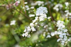 Thunberg's Meadowsweet Royalty Free Stock Images