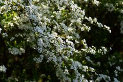 Thunberg's Meadowsweet Stock Images