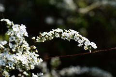 Thunberg's Meadowsweet Royalty Free Stock Photo