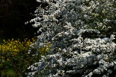 Thunberg's Meadowsweet Royalty Free Stock Photography